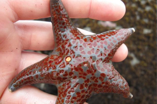 Starfish in a person's hand