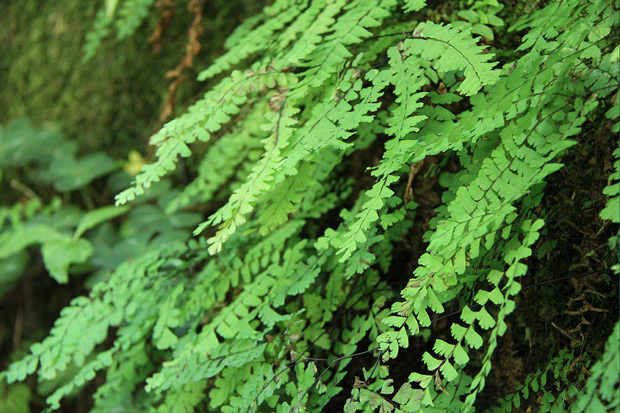 Ferns in the Pacific Northwest