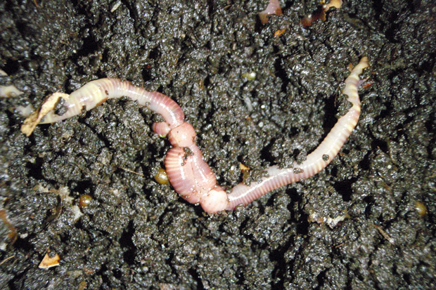 Earth worm in dirt